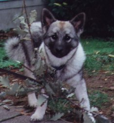 Elkhound puppy playing with a twig